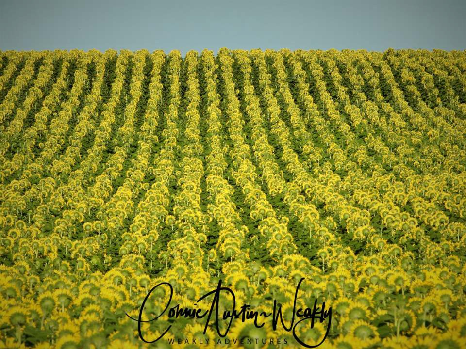 Rows of Sunflowers, by Connie Austin Weakly