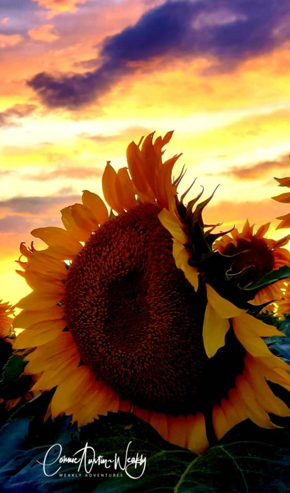 Sunflower in the Sunset, by Connie Austin Weakly