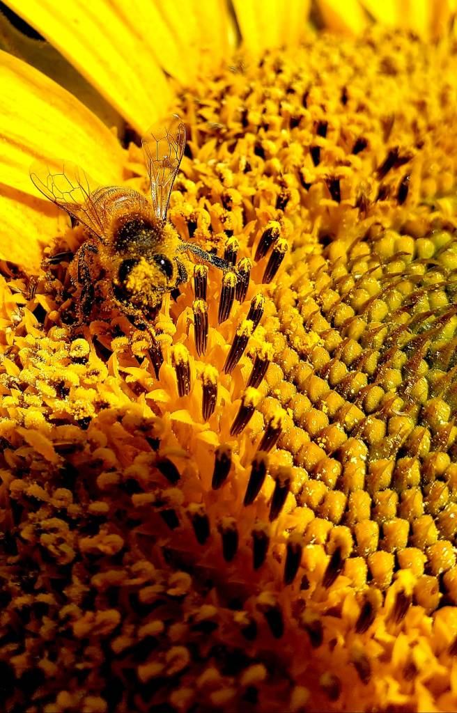 Bee and Pollen on Golden Sunflower, by Connie Austin Weakly