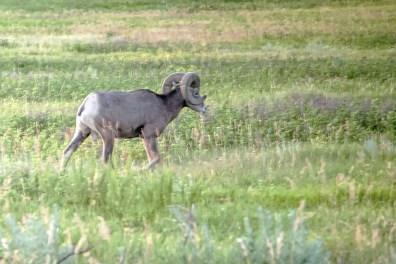 bighorn sheep walks away