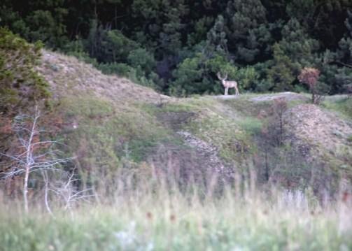 Bull elk on distant ridge