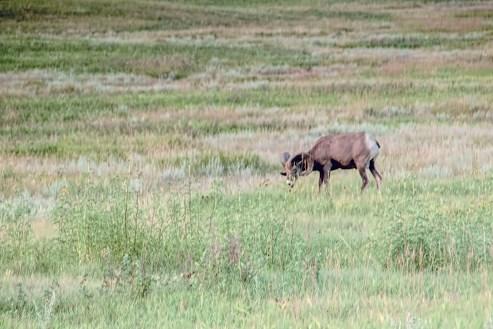 single bighorn sheep