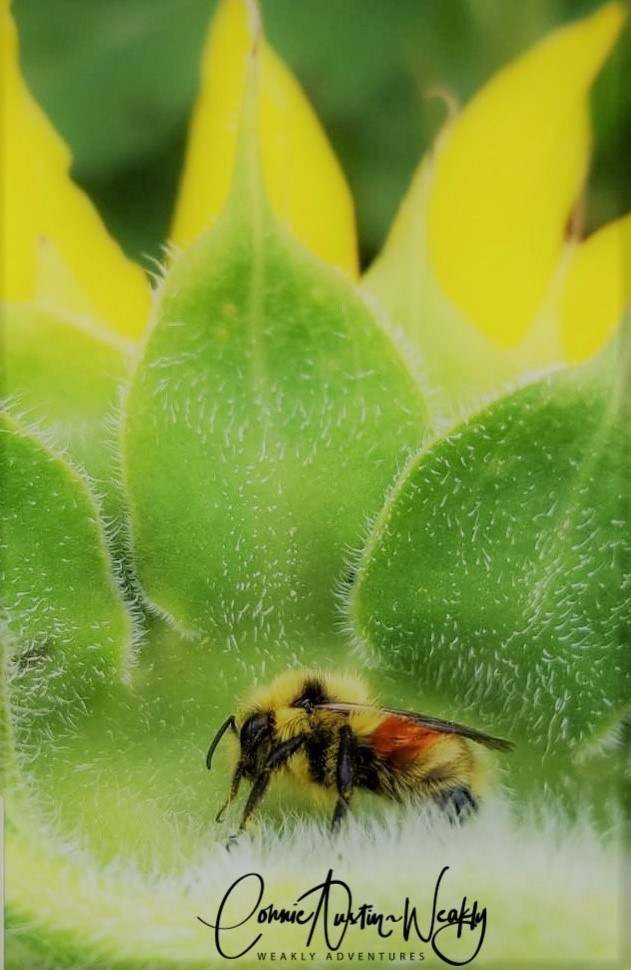 Bee in the Green Leaves of a Sunflower, by Connie Austin Weakly September 2019