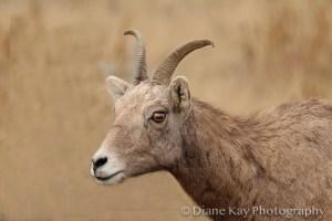 Bighorn Ewe in the Badlands of North Dakota