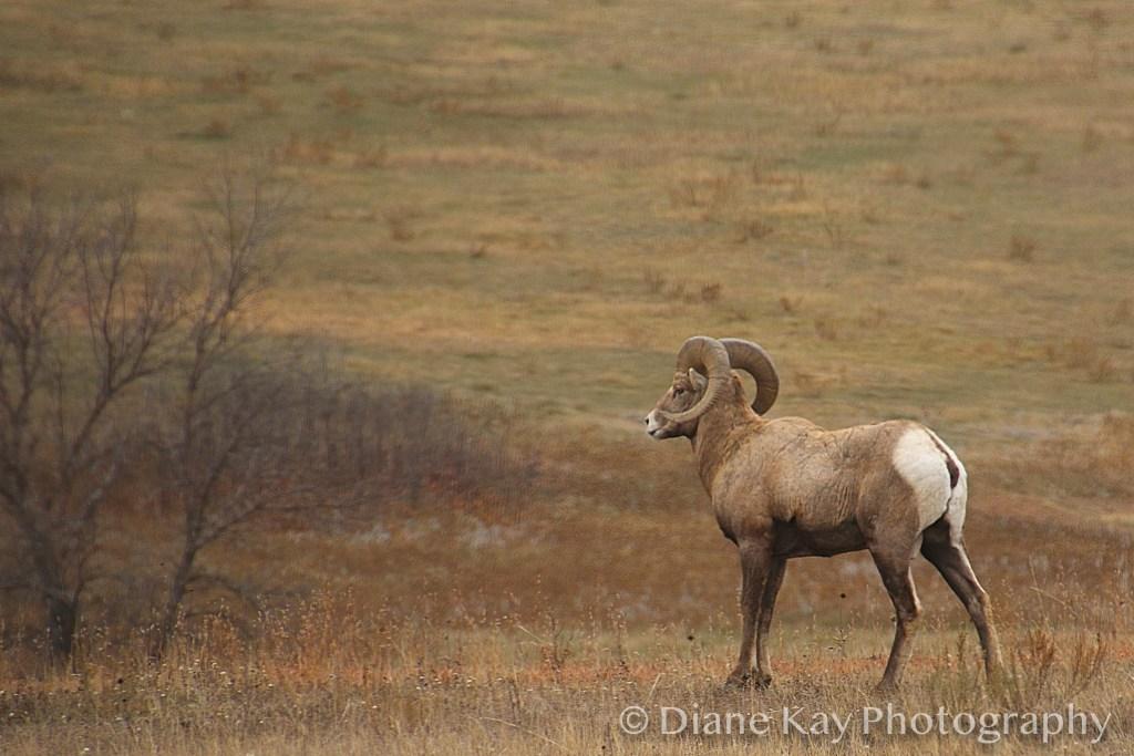 Huge Big Horn Ram on the Grasslands of Western North Dakota