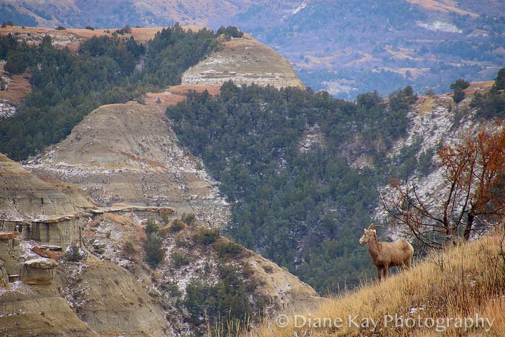 Big Horn Grassing Over the Rugged Badlands in North Dakota
