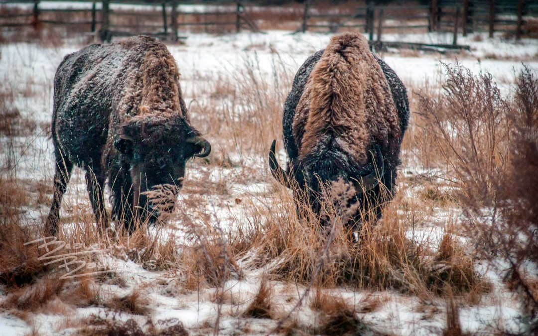 bison graze snow peaceful valley ranch