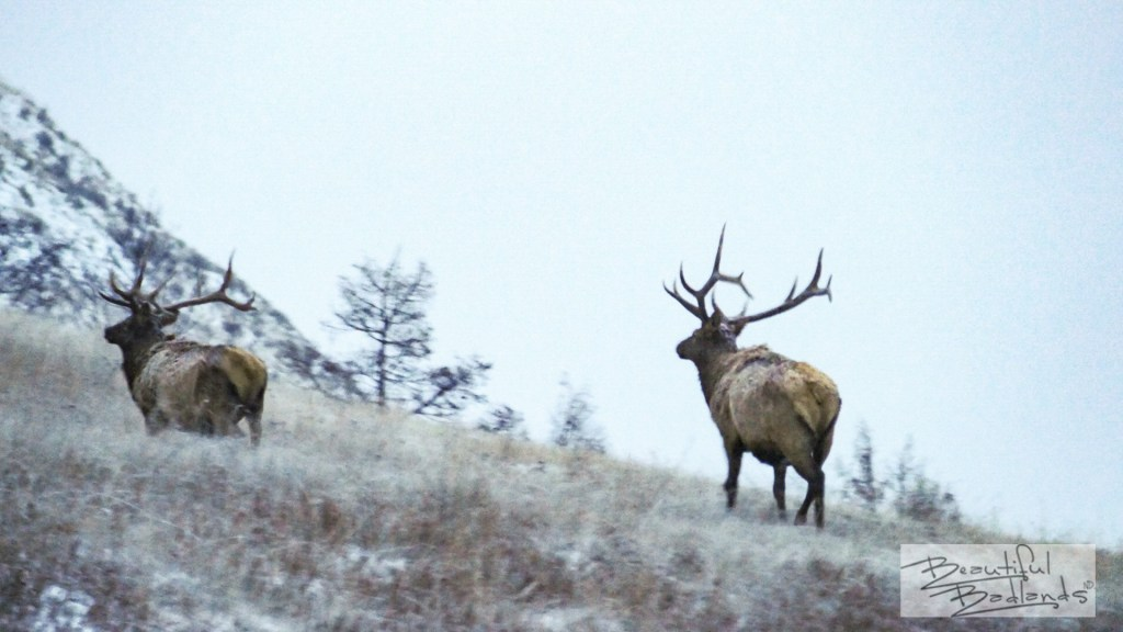 Two elk make their way up a hill late in the daylight hours, after sunset in the south unit of Theodore Roosevelt National Park in western North Dakota.