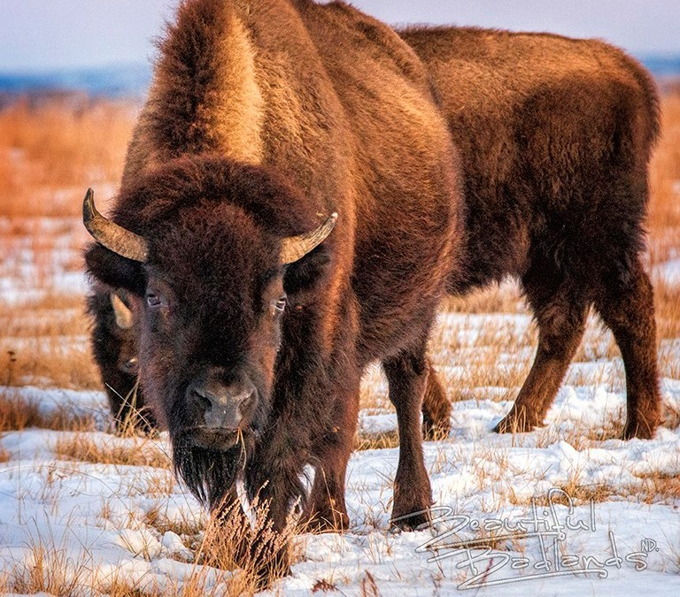 bison in snow at sunset