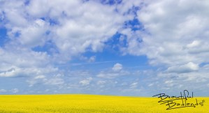 Canola is a major crop grown in North Dakota. It blooms at the height of summer, when wide open skies are sometimes brilliant blue!