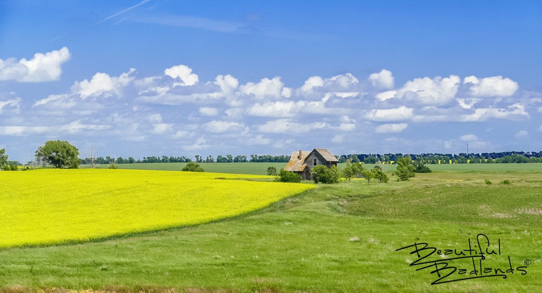 A sole farmhouse still stands in central North Dakota, surrounded by a brilliant yellow canola field, as testimony to small farms which no longer exist. West of Garrison, North Dakota, not far from the shores of Lake Sakakawea.