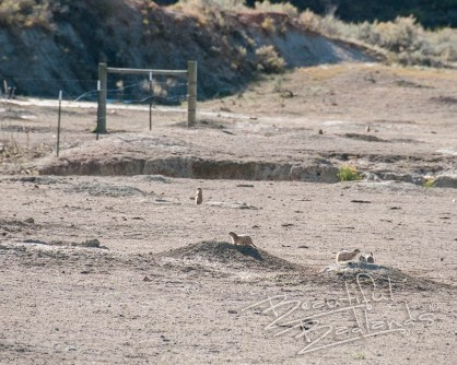 Prairie dogs near a fence at the base of a hill