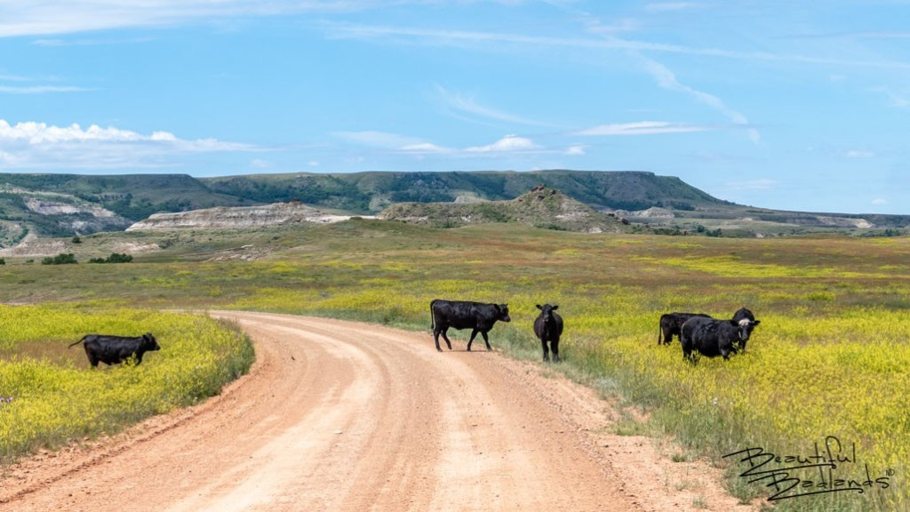 Cattle roam freely and have the right of way as we drive west on Square Butte Road in western North Dakota. The color of the yellow clover was brilliant on this sunny June day.