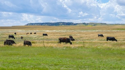 Cattle still graze the same prairies over which thousands of head of cattle passed during the cattle drives of the late 1800's.