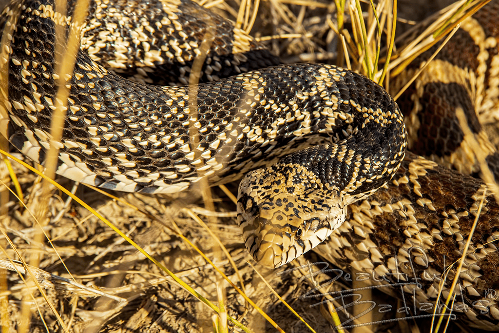 Close up head of bull snake in autumn gold grass