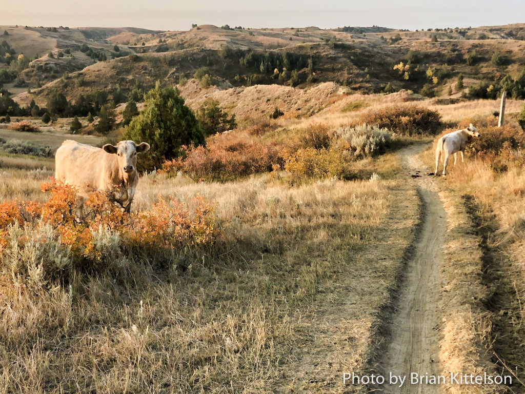 Much of the badlands is open range for surrounding cattle operations. Expect bovine company from time to time on the Maah Daah Hey Trail.