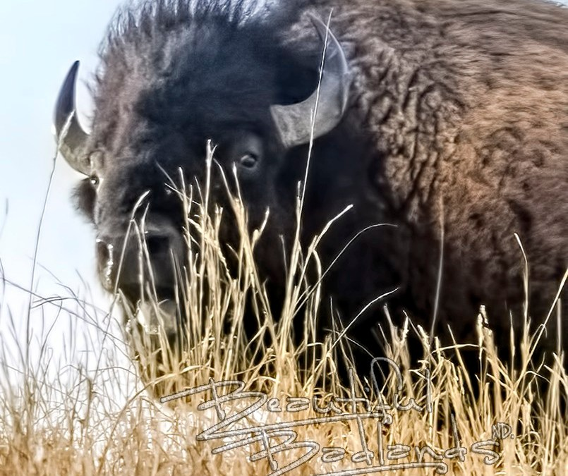 Snapshot Saturday — Fun, escape charging bison, burn calories