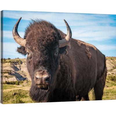 Bison Up Close! Full Color Canvas Wrap