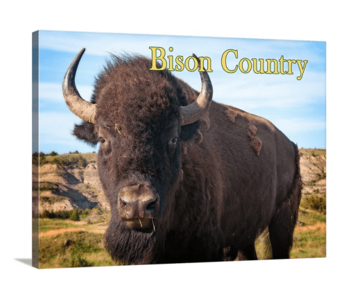 Bison Country! Bison Up Close in Color with Gold Text Canvas Wrap (on wall)