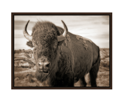 Bison Up Close!  Our Signature Sepia Image!  Walnut Floating Frame Canvas Wrap