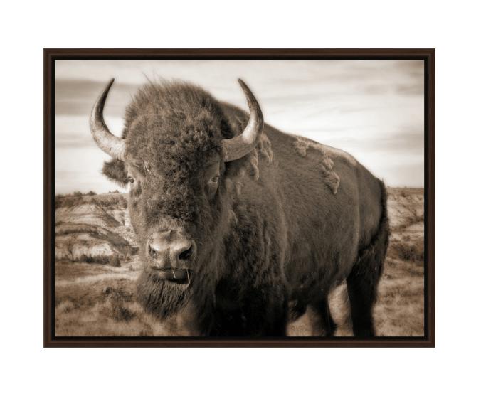Bison Up Close - Sepia Walnut Floating Frame Canvas Wrap