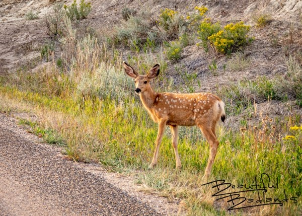 spotted fawn, mule deer, golden hour, fall colors, September, 2021, North Unit, Theodore Roosevelt National Park, North Dakota