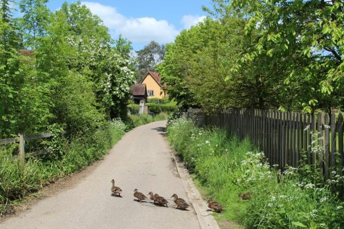 Ducks crossing Duck Lane, Benington