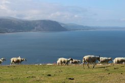 Conwy Bay and sheep, Great Orme
