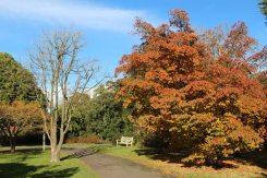 Japanese Dogwood tree, Wakehurst Place, Ardingly