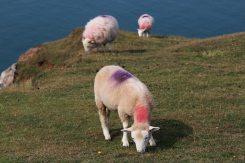 Sheep on cliffs, Rhossili