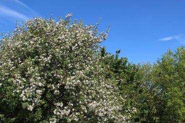 May blossom, Ditchling Beacon, South Downs Way