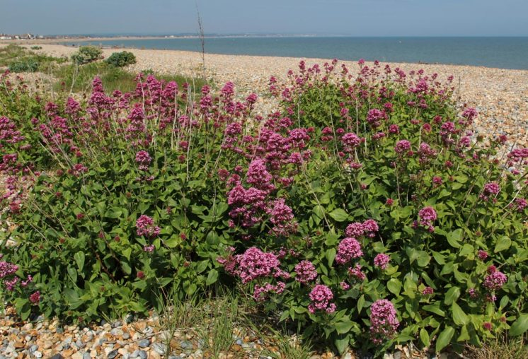 Red valerian, beach, Pevensey Bay