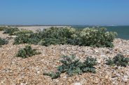 Sea Kale, beach, Church Norton