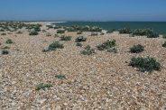 Sea Kale, beach, Church Norton
