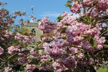 Cherry blossom, All Saints Churchyard, Brill