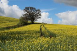 Oilseed rape fields, near Bickleigh