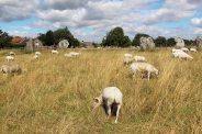 Sheep, South West Sector, Avebury Henge