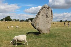 Sheep, South West Sector, Avebury Henge