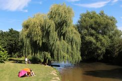 Weeping willow tree, River Mole, Cobham