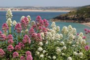Valerian, from Malakoff Gardens, overlooking St. Ives Bay, St. Ives