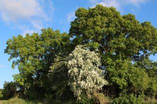 Hawthorn tree, beside Kennet and Avon Canal, near Dun Mill Lock