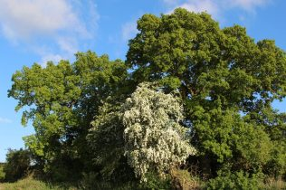 Hawthorn tree, beside Kennet and Avon Canal, near Dun Mill Lock
