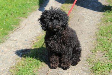 My poodle puppy, Kennet and Avon Canal, near Hungerford