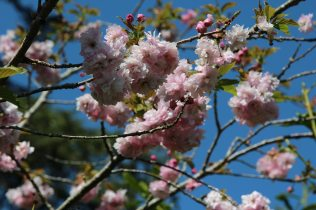 Cherry blossom, Adlestrop