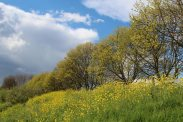 Mustard flowers, riverbank, Hampton Court Palace
