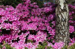 Azaleas, Valley Gardens, Virginia Water
