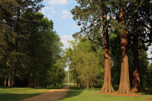 Canadian Redwood trees, Canadian Avenue, Valley Gardens, Virginia Water