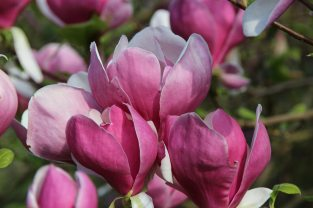 Magnolia blossom, Valley Gardens, Virginia Water
