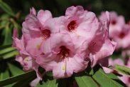 Sarita Loder Rhododendron flower, Valley Gardens, Virginia Water