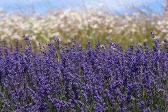 Lavender, Cotswold Lavender, Snowshill